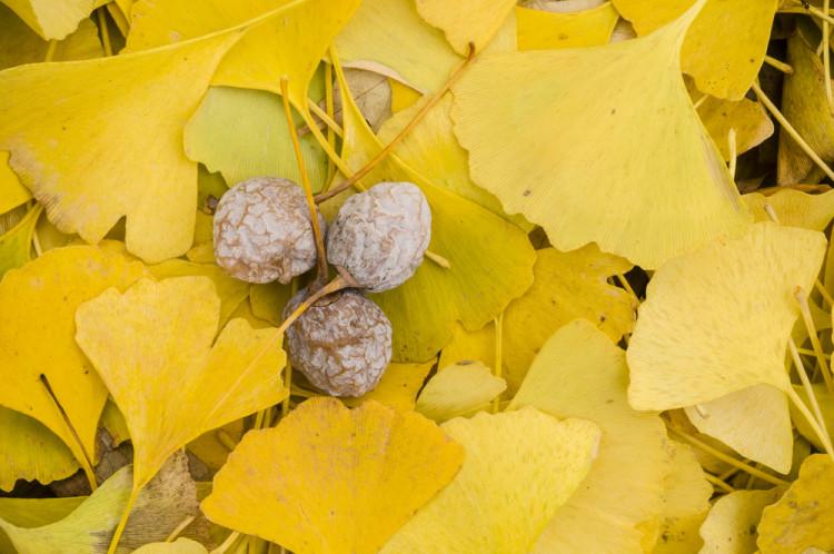 秋の味覚銀杏で美味しく綺麗に