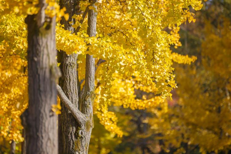 黄色いイチョウの葉っぱ
