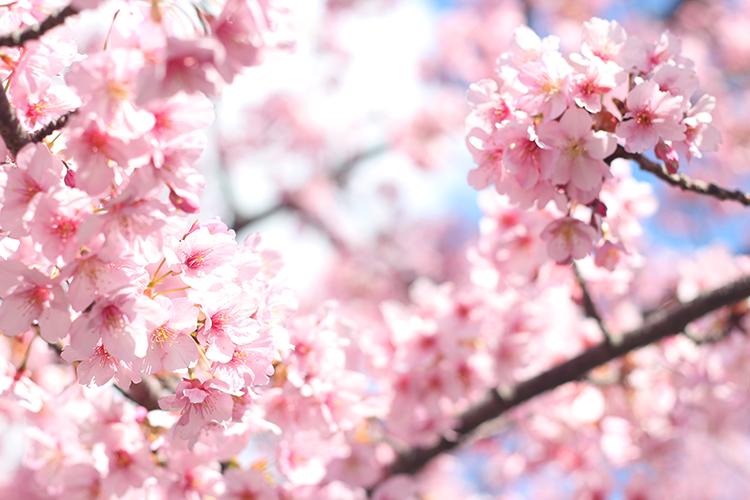 桜ヘアアイテム